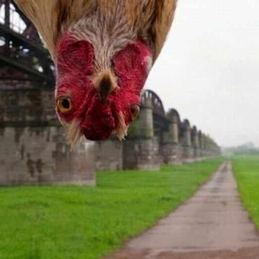 chicken-rooster-photos-pics-funny-meme-lol-oh-hey-there-photobomb_thumb-6873.jpg