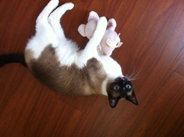 Yuki with her fave toy.JPG