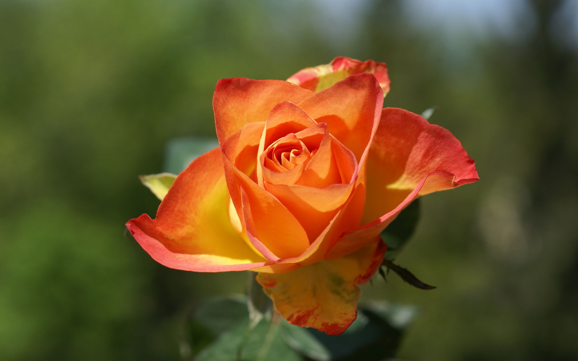 orange-roses-rose-flower-pictures-218.jpg