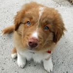 emmet-the-nova-scotia-duck-tolling-retriever-1_58967_2011-06-02_w450.jpg