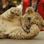 animal-animals-cute-lion-little-Favim.com-401316.jpg