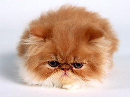fat-persian-kitten.jpg
