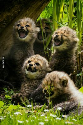 Baby-cheetahs-laughing.jpg