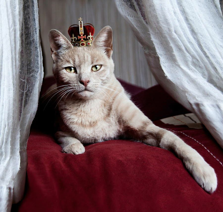 portrait-of-white-cat-with-crown-on-head-by-sigi-kolbe.jpg