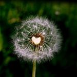 Dandelion____by_MichiLauke.jpg