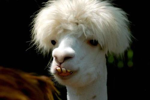 Funny-Llama-01.jpg