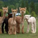 baby llamas.jpg
