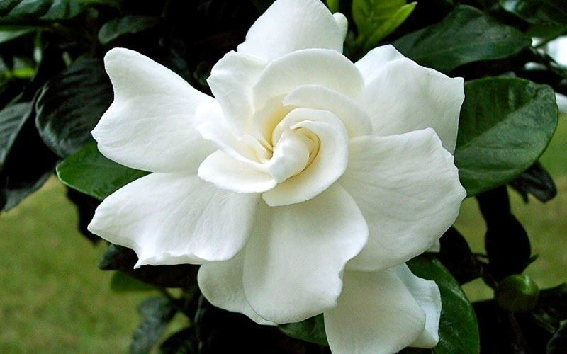 10684-August-Beauty-Gardenia.jpg