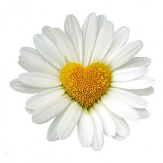 daisy heart.jpg
