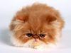 fat-persian-kitten.jpg