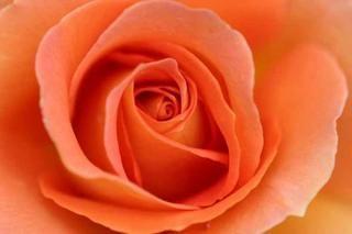 rose_9242Copying.jpg
