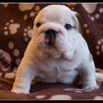BulldogPuppiesPictures1[1].jpg