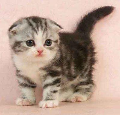 Scottish-Fold-Cat-Picture.jpg
