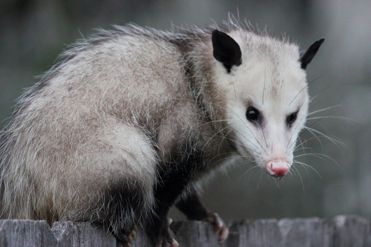 Optimized-opossum1.jpg