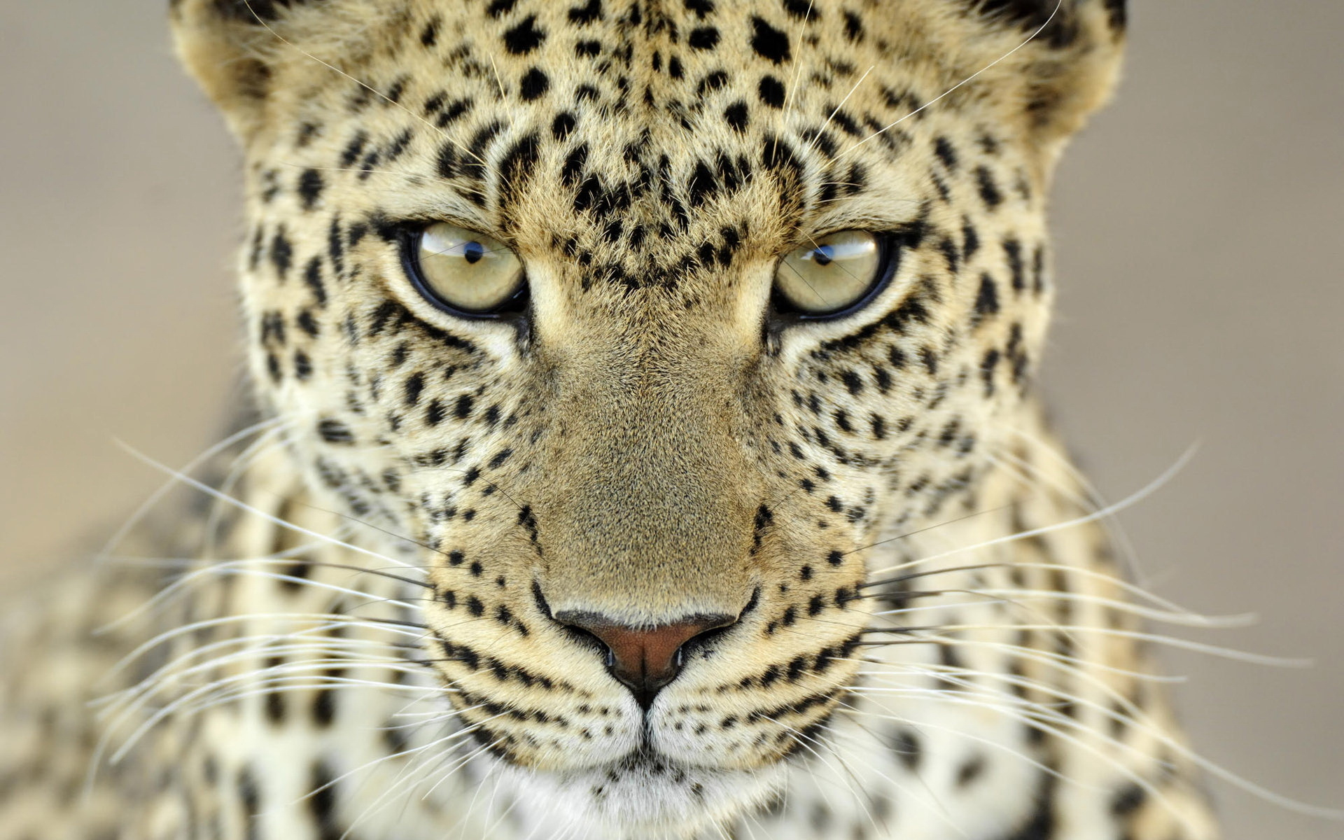 jaguar-animal-face-wallpaper-2.jpg