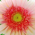 gerbera_daisy_closeup_1024x_768__jpg_Wallpaper_exx38.jpg