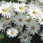 daisy-white.jpg