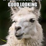funny-looking-llamas1.jpg.pagespeed.ce.jA0gxOxQI9.jpg