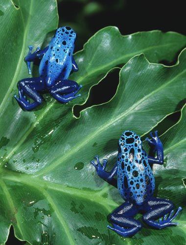 blue_dart_poison_frogs_lg.jpg