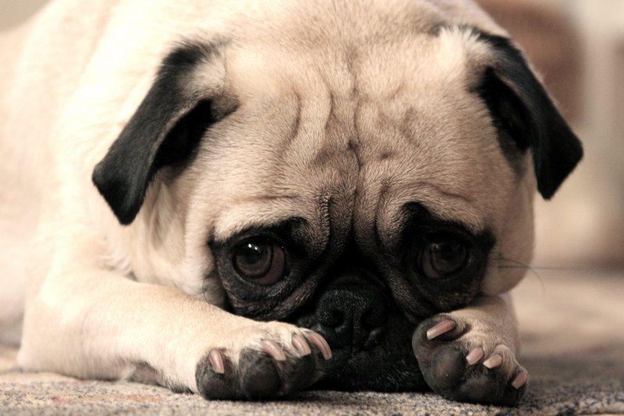 Puppy_Dog_Eyes_by_Drocan.jpeg
