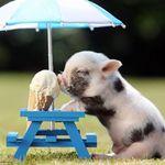 MINI-PIG-1.jpg