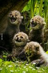 Baby-cheetahs-laughing.jpg